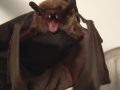 Big Brown bat in hand