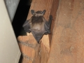 Big Brown Bat in Attic