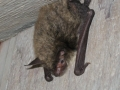 Big Brown Bat outside