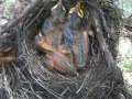 Young Robins in Nest