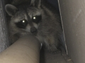 Raccoon in Crawlspace