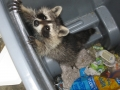 Raccoon in Garbage can