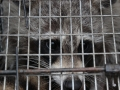 Raccoon caught in trap