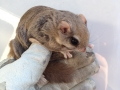 Flying Squirrel on glove
