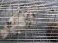 Flying Squirrel in trap 1