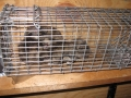 Flying Squirrels in trap
