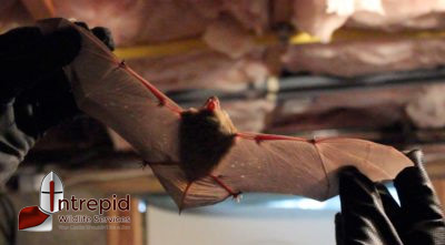 Bat removal New Rochelle, NY
