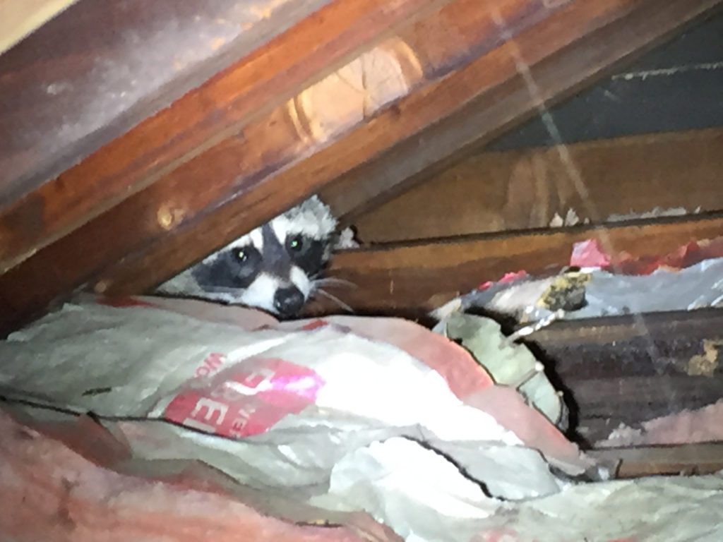 raccoons-in-attic-noises-in-the-attic