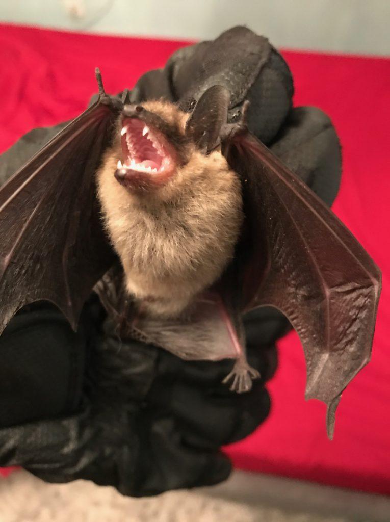 Emergency Bat Removal Company Mohegan Lake, NY