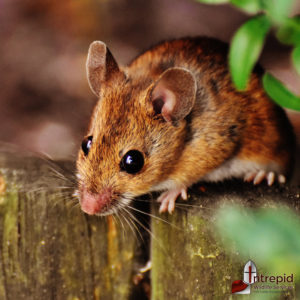 Mouse Removal & Mouse Prevention Service